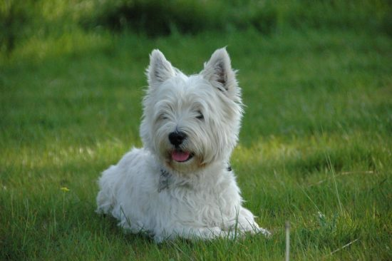 Perro West Highland Terrier