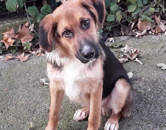Perro pastor en adopción