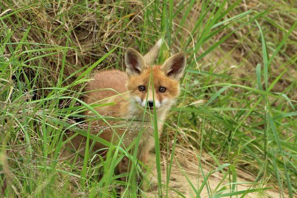 Un cachorro de zorro en el campo